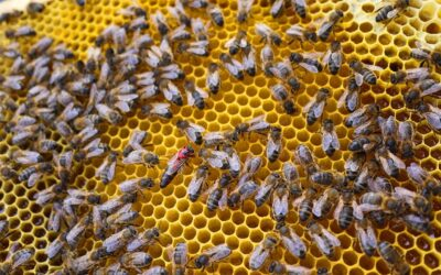 Restaurangen Moderna Museets biodling gav 50 kg honung